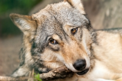 Timberwolf I