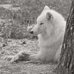 Warten auf den Schnee (Polarwolf)