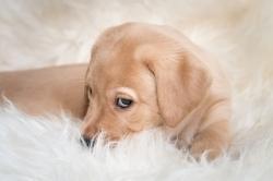 Fast & Spirited- Labradors, Floki