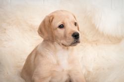 Fast & Spirited- Labradors, Hannes