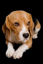 Vivica (Beagle)