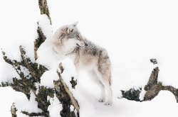 Schneewolf I